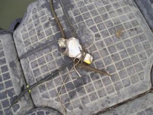 Unealta simpla de prins crabi: pulpa de pui si sfoara