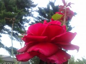 Noblete florala